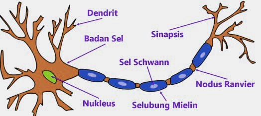 Sistem Anatomi Tubuh Manusia