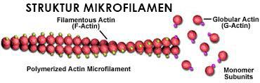 Bagian Mikrofilamen tumbuhan