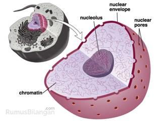 Bagian Nukleus