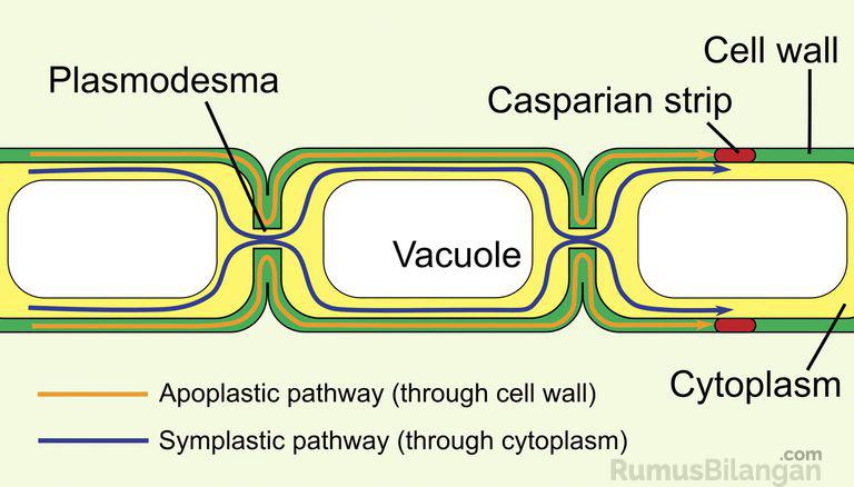 Bagian Plasmodesmata