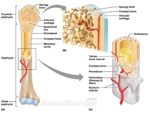 Bagian yang sering ditemukan dalam tulang