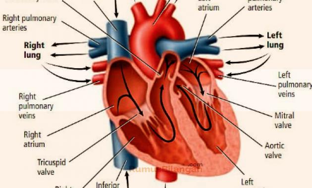 Jantung - Pengertian, Contoh Gambar, Fungsi, Struktur Bagian