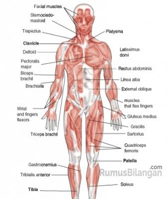 Struktur Sistem Otot Manusia