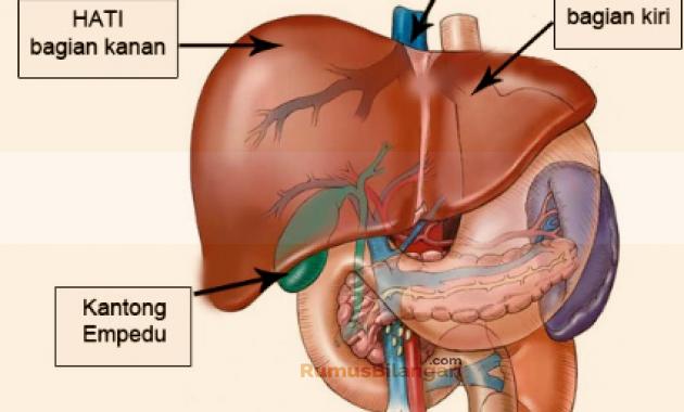 Struktur dan Bagian Bagian Organ Hati