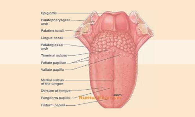 Struktur dan Bagian - Bagian Pada Lidah