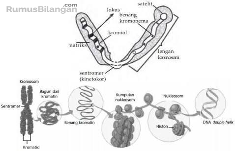 Struktur dari Kromosom