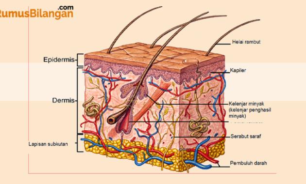 Struktur dan Bagian - Bagian Kulit