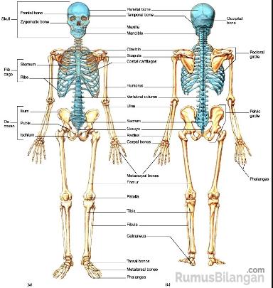 Anatomi Tulang Pada Manusia