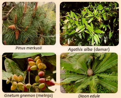 Klasifikasi Tanaman Berbiji (spermatophyta)