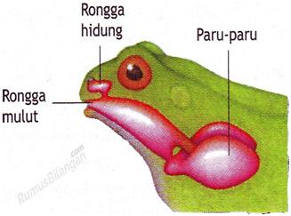 Peralatan dan Sistem Pernapasan Pada Amfibi