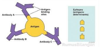 Antigen Dalam Antibodi