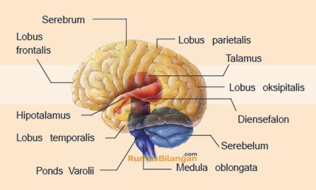 Bagian Bagian Dari Otak