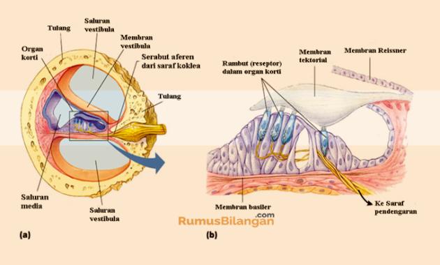 Bagian Bagian Dari Telinga