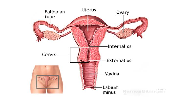 Bagian Serta Struktur Uterus