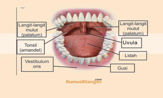 Struktur Dari Mulut
