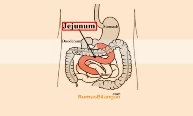 Jejunum (Usus Kosong)