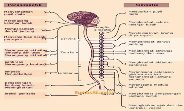 Nama Nama Sistem Saraf Spinal Beserta Penjelasannya