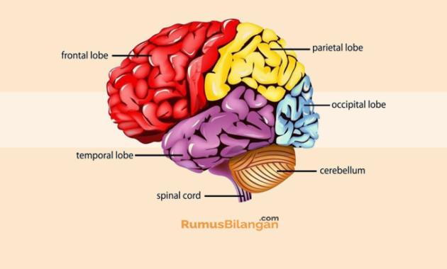 Pengertian Otak Kecil Cerebellum