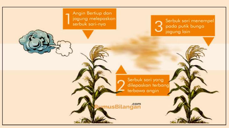 Penyerbukan angin dilakukan dalam beras, jagung, gandum, dan rumput.