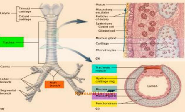 struktur dan bagian trakea