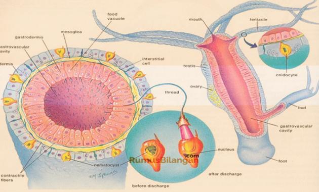 Sistem Organ Dari Coelenterata