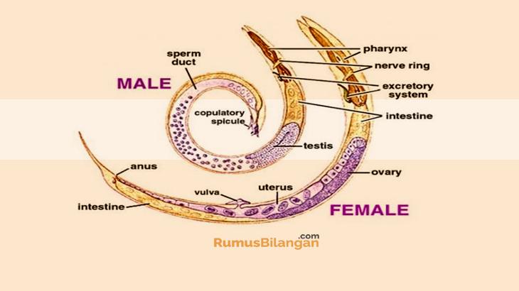 Sistem Organ Dari Nemathelminthe