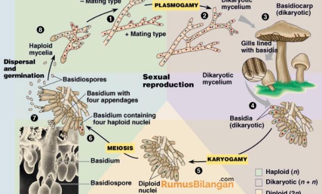 Sistem Reproduksi Jamur Basidiomycota