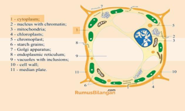 Sitoplasma Dalam Sel Tumbuhan