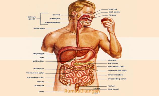 Struktur Dan Organ Dari Sistem Pencernaan