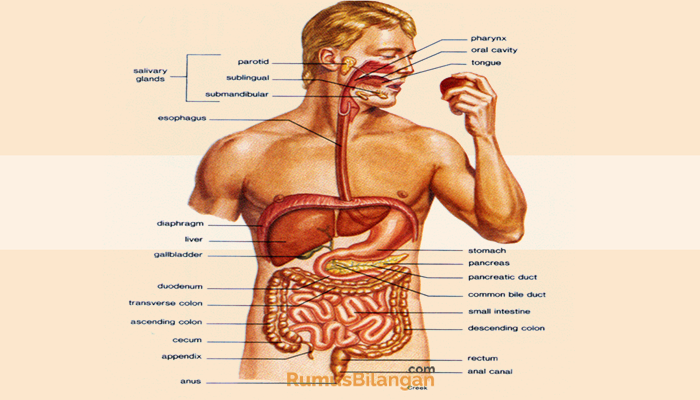 Sistem Pencernaan Pengertian Ciri Contoh Struktur