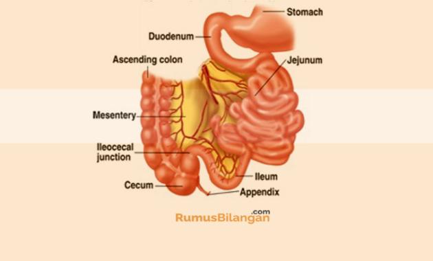 Struktur Dari Intestinum