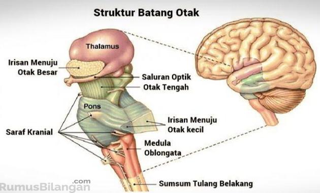Struktur Dari Medulla Oblongata