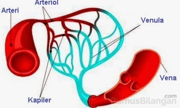 Struktur Dari Pembuluh Darah Kapiler