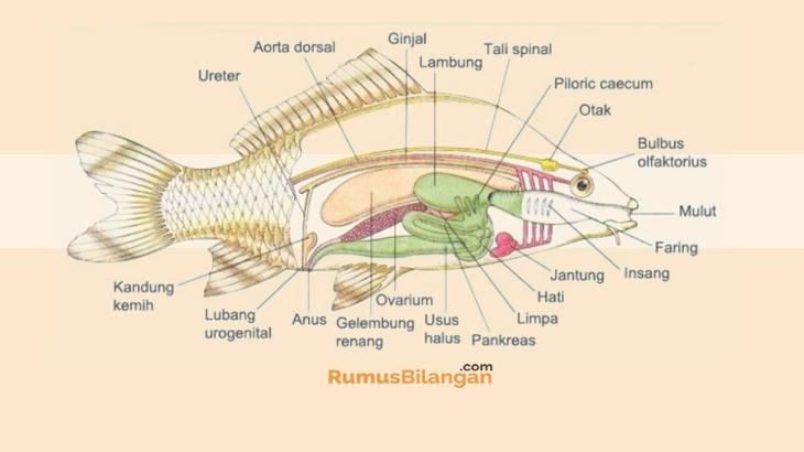 Struktur Tubuh Ikan Atau Pisces
