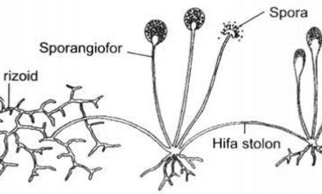 Struktur tubuh jamur zygomycota