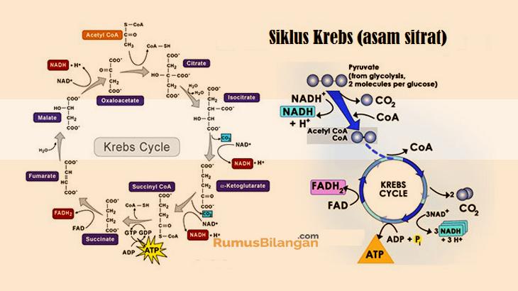 Tahapan Dari Siklus Krebs