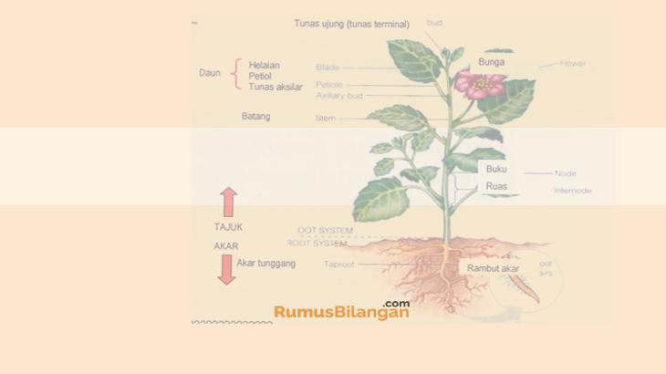 Tumbuhan Dikotil Pengertian Ciri Struktur Klasifikasi
