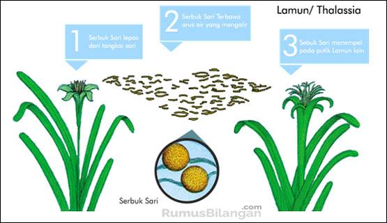 Penyerbukan dengan bantuan air terjadi pada tanaman air seperti lamun/thalasia dan hydrilla.