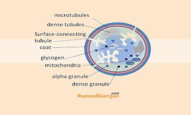 gambar struktur trombosit