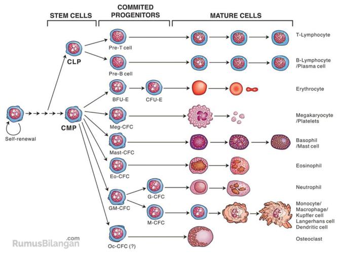 proses-pembentukan-sel-darah-merah
