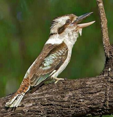 Gambar Burung Kukabura